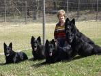 resident pets.  black German Shepherd dogs
