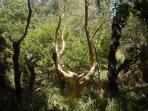 Arbre d'or du Val sans Retour dans la forêt de PAIMPONT