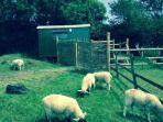 ...with lambs and willow hurdles - very authentic for this genuine Shepherds Hut!