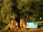 1000 year old olive tree and seat