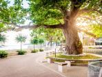 Mlini Sycamore Tree
