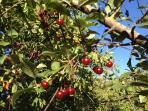 Gli alberi di Ciliegie della Casa Vacanza Trulli La Ginestra in Valle d'Itria, Puglia, Ostuni, B&B