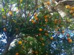 Orange tree in the garden