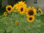 Cheery sunflowers in July
