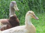 Our Saxony Ducks