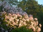 En été, les rosiers sont en fleurs.