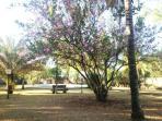 Tree in Bloom near Pool
