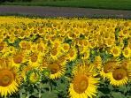 Sunflowers growing in local fields