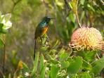 Sunbird on Pin-Cushion Protea in Garden