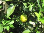 a beautiful lemon hanging from the tree...also in the garden..