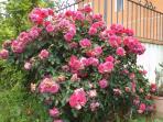 giardino con rose
