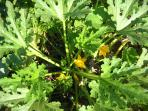 la splendida pianta della zucchina