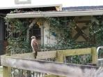 A Broad Wing Hawk hanging out on the paddock fence by the Lizard Porch, looking for a lizard lunch?