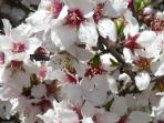 Springtime Almond Blosson at Casa De La Cuesta
