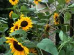 au jardin les tournesols