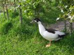 Duck in the hedge
