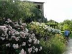 La Casella ban of roses blooming in June