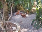 Chooks roam freely throughout the rear gardens