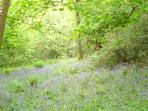 bluebell woodland in spring