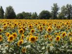 Local Sunflowers in July