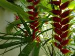 Heliconia, ginger, hibiscus, Ti, bananas and other beautiful plants surround the condo