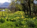 A section of the gardens erupts with daffodils in the spring.