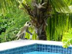 Sometimes a monkey will have a drink from the pool.