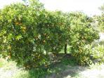 Plenty of orange trees.Could you like a natural orange juice?