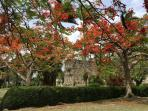 Flowering tree at the Anglican Codrington College, east coast