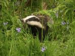 Badgers photographed from Criffel Lodge by guests in May