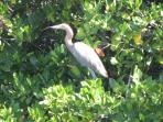 Heron in the mangroves.
