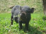 Eins unsere Hängebauchschweine