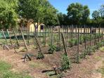 Le jardin potager : tomates