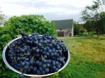 Sweet succulent organically grown concord grapes fresh off of our Kendall Farm.