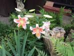 Fern Garden - stargazer lily