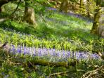 The Blue Bell Woods at Dunkeld, very nearby are a sight to behold!
