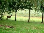 Deer on the edge of our woodland