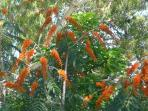Blue eyed Honey Eaters in our Colvillia tree