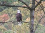 Eagle photo taken from house