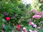 The roses in June