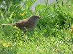 A dunnock outside the chalet.