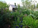 A view of the garden from the decking.Many interesting plants can be found such as figs and physalis