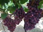 Local vineyard with table grapes