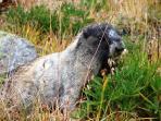 Marmot on Russet Lake trail above Singing Pass