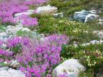Alpine Meadows natural rock garden