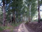Alameda de eucaliptos