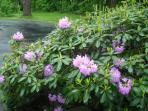Blooms in June