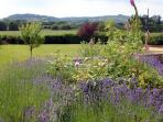 Lavender flowering in abundance
