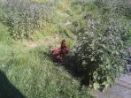 Chuck the resident Hen - enjoy collecting your own fresh chicken and duck eggs every morning