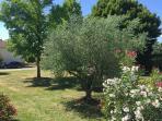 Un des oliviers du jardin